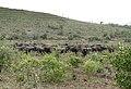 African Buffaloes (Syncerus caffer) (32206236626).jpg