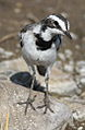 African Pied Wagtail, Motacilla aguimp in Kruger National Park (12147822333).jpg