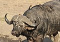 African buffalo or Cape buffalo, Syncerus caffer, with Red-billed Oxpecker, Buphagus erythrorhynchus, at Kruger National Park, South Africa (20764930948).jpg