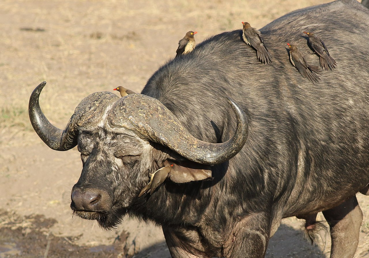 File:African buffalo or Cape buffalo, Syncerus caffer ...