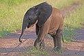 African bush elephant (Loxodonta africana) baby 6 weeks.jpg