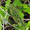African emerald cuckoo (Chrysococcyx cupreus) male.jpg