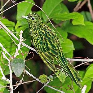 African emerald cuckoo (Chrysococcyx cupreus) male, Kakum National park, Ghana