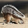 African ground squirrel, built in parasol (38727080482).jpg