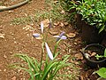 Agapanthus africanus minor-3-shevaroy nursery-yercaud-salem-India.JPG