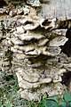 Agaricomycètes (Agaricomycetes) (2).jpg