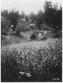 Agastache Urticiolia (Giant Hyssop), Umpqua, D. C. I., Oregon, 1920. - NARA - 299114.tif