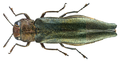 Agrilus viridis (Linné, 1758) (21749270845).png