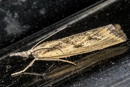 Agriphila inquinatella01(js), Lodz(Poland).jpg