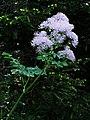 Akeleiblättrige Wiesenraute (Thalictrum aquilegifolium) 01.jpg