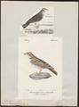 Alauda calandrella - 1700-1880 - Print - Iconographia Zoologica - Special Collections University of Amsterdam - UBA01 IZ16100339.tif