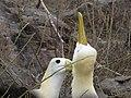 Albatross birds - Espanola - Hood - Galapagos Islands - Ecuador (4871012885).jpg