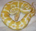 Albino ball python.png