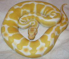 Message du Peuple des Serpents/Reptiles 4 dans SERPENT 220px-Albino_ball_python