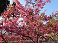 Alishan Cherry Blossoms 阿里山樱花 - panoramio.jpg