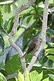 Allenia fusca in Coulibistrie-a05.jpg