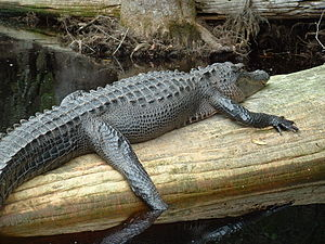 Okefenokee Swamp - An alligator lounges on a log in the Okefenokee Swamp.