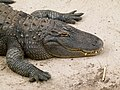 Alligator mississippiensis - Oasis Park - 03.jpg