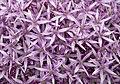 Allium (5843403162).jpg