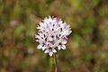 Allium lacunosum.jpg