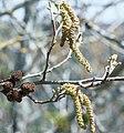 Alnus acuminata 3.jpg