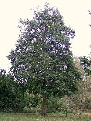 Alnus cordata - Alnus cordata tree