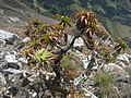 Aloe arborescens - Chimanimani 1 (10238274536).jpg