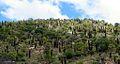 Aloe marlothii03.jpg