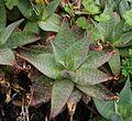 Aloe saponaria 2005 05 21.jpg