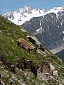 Alpine Ibex (Bouquetin) @ Path from L'Index to Col de la Gliere @ Hike to Lacs des Chéserys, Lac Blanc, Lac Cornu & Lacs Noirs @ Chamonix (15358303111).jpg