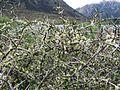 Alpine shrub with flowers (6706391333).jpg