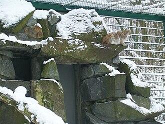 Turkestan lynx - A captive Turkestan lynx at Tierpark Berlin, Germany.