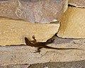 Alvin Lizard (5252900678).jpg