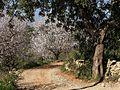 Amandiers en fleurs (2240865831).jpg