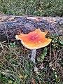 Amanita muscaria 103128360.jpg