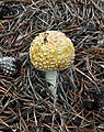 Amanita muscaria var. guessowii - Beech Forest, Cape Cod National Seashore - 2014-10-04 - image 10.JPG