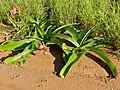Amaryllidaceae (Crinum sp.) (13814892253).jpg