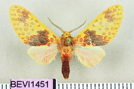 Amaxia flavipuncta