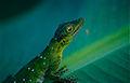Amazon Green Anole (Anolis punctatus) (10379222226).jpg