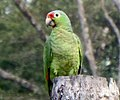 Amazona autumnalis 02.jpg