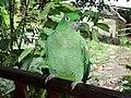Amazona farinosa -Ecuador-8b.jpg