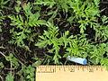 Ambrosia artemisiifolia Herbe à poux Ambroisie HPoux16mai2006HullBenvoyé.JPG