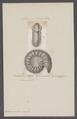 Ammonites crassa - - Print - Iconographia Zoologica - Special Collections University of Amsterdam - UBAINV0274 091 01 0089.tif