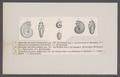 Ammonites flexuosus canaliculatus - - Print - Iconographia Zoologica - Special Collections University of Amsterdam - UBAINV0274 091 01 0064.tif