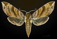 Ampelophaga rubiginosa MHNT CUT 2010 0 28 Anarawa japan female dorsal.jpg