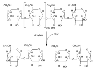 Maltose - Amylase reaction consisting of hydrolyzing amylose, producing maltose