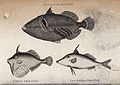 An aculeated file-fish (above), a downy file-fish and a two- Wellcome V0022055.jpg