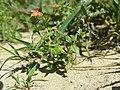 Anagallis arvensis sl18.jpg