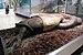 Green Anaconda (Eunectes murinus) devours a ca...