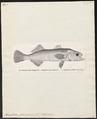 Ancylodon parvipinnis - 1700-1880 - Print - Iconographia Zoologica - Special Collections University of Amsterdam - UBA01 IZ13400085.tif